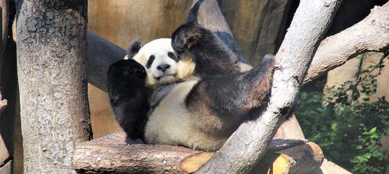any excuse to use a panda photo